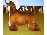 This Afghan hound is black and brindle; however, the photo shows it with a reddish tinge to the coat
