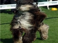 An Afghan hound in the show ring, demonstrating the unique appearance of its high-maintenance coat.