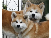 Red Akita Inu adult and puppy.
