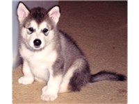 Alaskan Malamute puppy