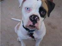 American Bulldogs are known to have different colored irises, also known as, Heterochromia.