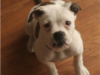 A female American Bulldog puppy at 14 weeks.