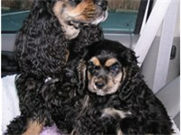 A black and tan American Cocker Spaniel and her 2 month old pup.