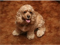 A golden American Cocker Spaniel.