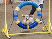 An American Cocker Spaniel taking part in an agility competition.