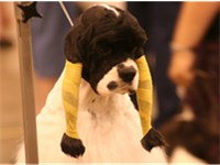 An American Cocker Spaniel with its ears wrapped in preparation for a dog show.