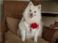 American Eskimo Dog with Red Nose