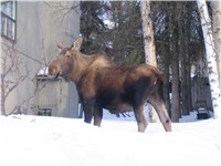A moose in a yard.