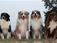 Color variants: Black tricolor, red merle, blue merle, liver tricolor.