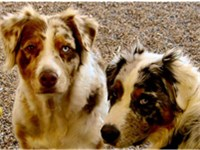 Red merle with copper points and one brown eye and one blue eye. Blue merle with copper points with