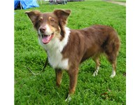 An Australian Shepherd from working lines; early breeders chose dogs for their abilities rather than