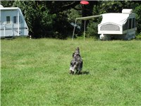 An Australian Shepherd about to jump for a frisbee