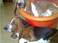 5 month old Basset couple.