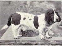 A smooth-coated Basset Hound from 1915.