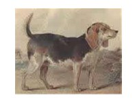 This image from the turn of the 19th century shows a dog with a heavier body and lacking the refined