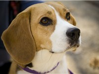 The Kennel Club (UK) standard states the Beagle should give the impression of quality without coarse
