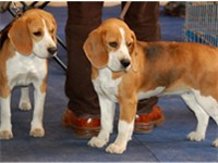 A pair of Polish show Beagles showing a faded tricolour