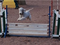 Bedlington Terrier performing agility