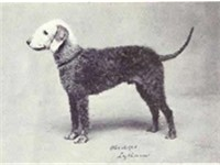 Bedlington Terrier circa 1915