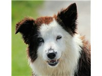 A tri-color Border Collie face.