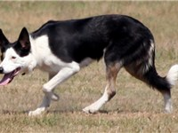 A working Border Collie helps to illustrate the significant variation in appearance.