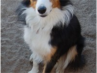 A tri-color Border Collie.