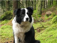 A Border Collie in Wales