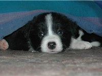 A Border Collie puppy