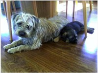 "Unstripped Border Terrier with puppy. This is the ""natural"" form of the Border Terrier coat."