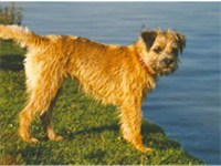 Female red Border Terrier.
