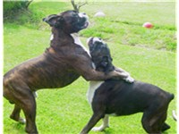 Two boxers engaged in play, UK.