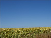 A sunflower field in Dobrudja. The region is one of the most fertile in Bulgaria