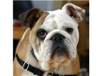 Bulldog, Purebred 6 month-old puppy from AKC Champion bloodlines