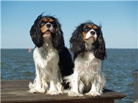 Two Cavalier King Charles Spaniels on Great South Bay, Long Island