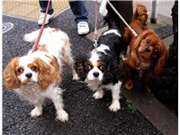 Cavalier King Charles Spaniels traditionally come in four colours. Blenheim, Tricolour and Ruby are