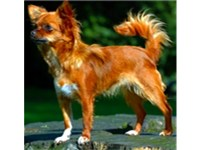 A long-haired tan chihuahua