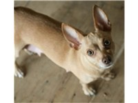 A green eyed beige female Chihuahua.