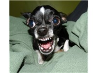 Chihuahua displaying signs of aggression