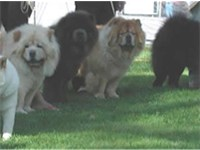 Chows of different coat colors