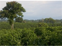 Plantation of Colombian coffee, Quindio. Coffee is Colombia's main agricultural export.