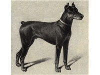Dobermann Pinscher, 1909