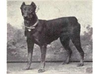Dobermann Pinscher, 1915
