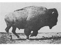 "American bison (""buffalo"") cantering - set to motion using photos by Eadweard Muybridge"