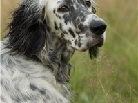 Portrait of an English Setter