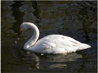 The Whooper Swan, national bird of Finland