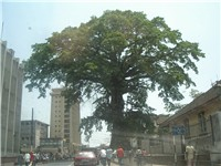 Street-level view of Freetown and the Cotton Tree where former American slaves prayed under and chri