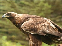 The eagle is a protected bird of prey and the national heraldic animal