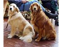 Golden Retrievers vary widely in color.