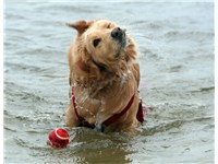 Golden Retrievers were bred to retrieve from the water.
