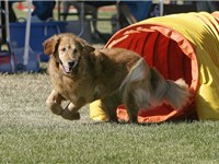 Most Goldens are high energy and need plenty of exercise, such as dog agility.